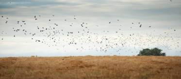 High volume pigeon hunting