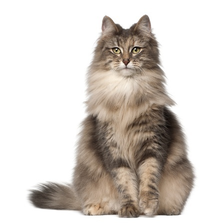 breed review norwegian forest