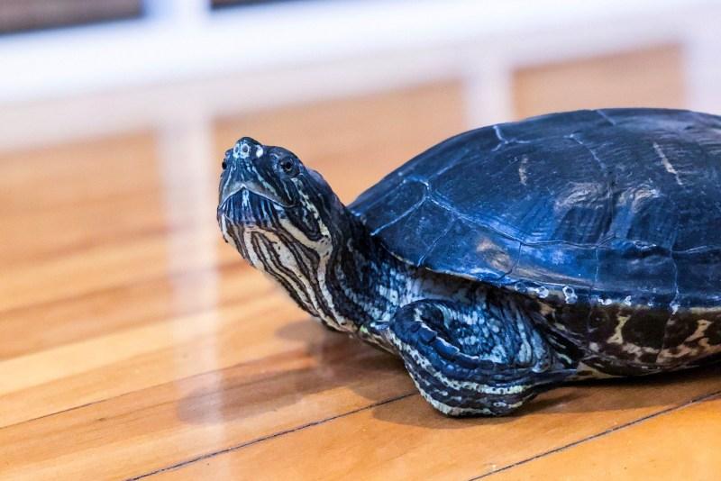 Réjean la tortue sur le plancher