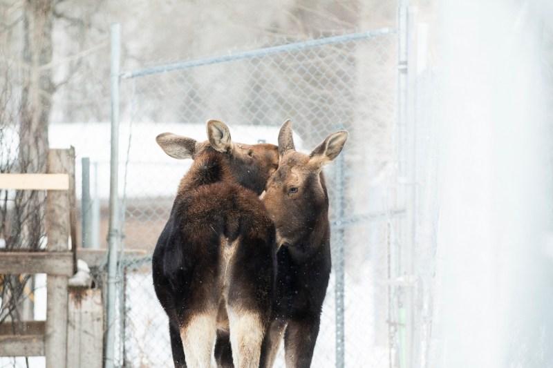 Rormain (orignal) avec Heidi en hiver