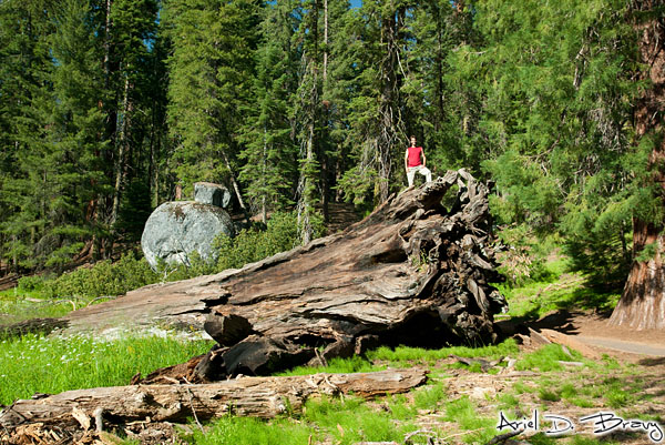 Climbing on a fallen sequoia