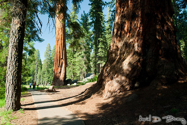 Compare the regular tree on the left with the sequoia on the right