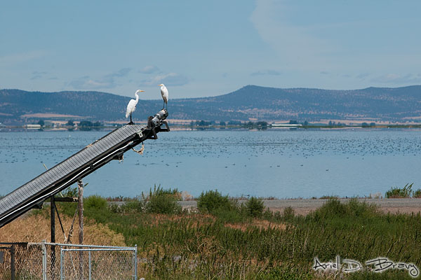 Pair of herons in the Lava Beds Nature Preserve