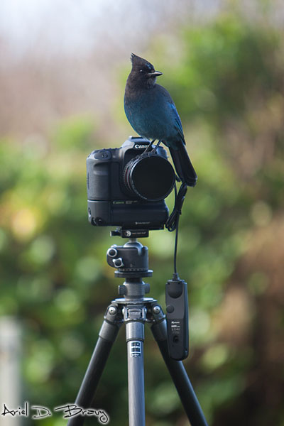 Steller's Jay on top of my camera