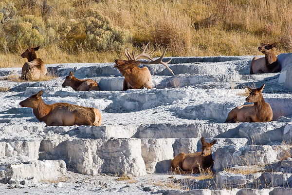 Buck and his deer on the Mammoth Hot Springs Terraces
