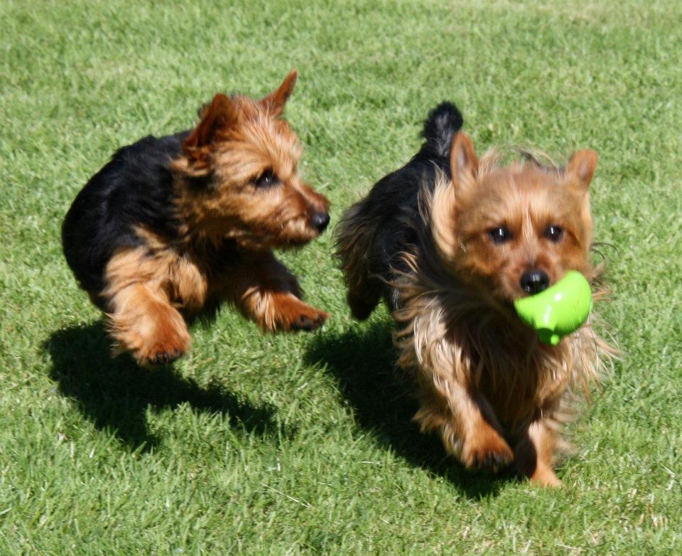 Arista Australian Terriers