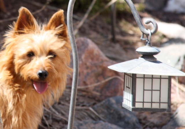 "CH Crestwood Suddenly I See ""KT"" (Australian Terrier"