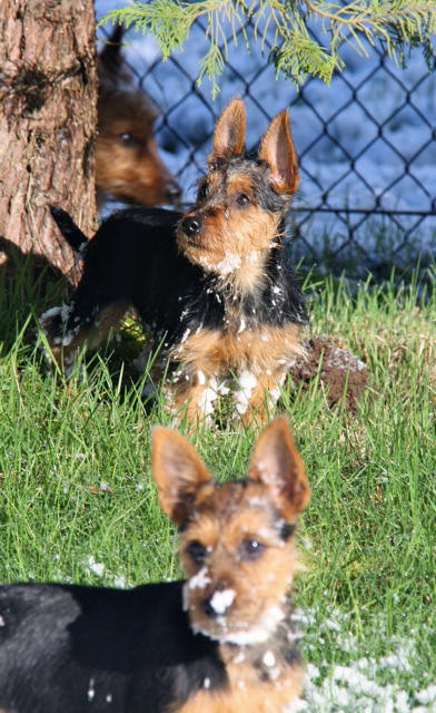 Australian Terrier Breeders Australian Terrier Puppies Australian Terrier Breeders In Washington State Australian Terrier Breeders in Oregon State Australian Terrier Breeders in Colorado State Australian Terrier Rescue Australian Terrier Club of America Australian Terrier International