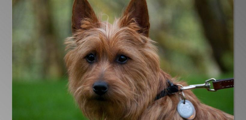 Litter Born August 2010 | Arista Australian Terriers