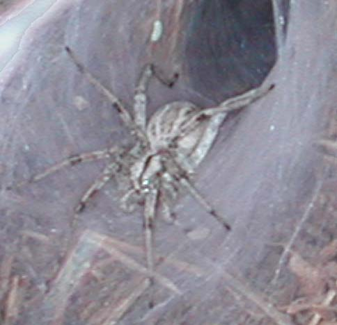 Funnel-Web Spider in the Sonoran Desert