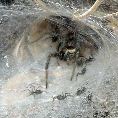 Funnel-Web Wolf Spider in Arizona's Sycamore Canyons