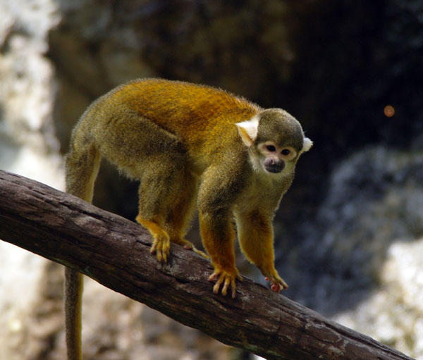 Chiang Mai Zoo - Squirrel Monkey