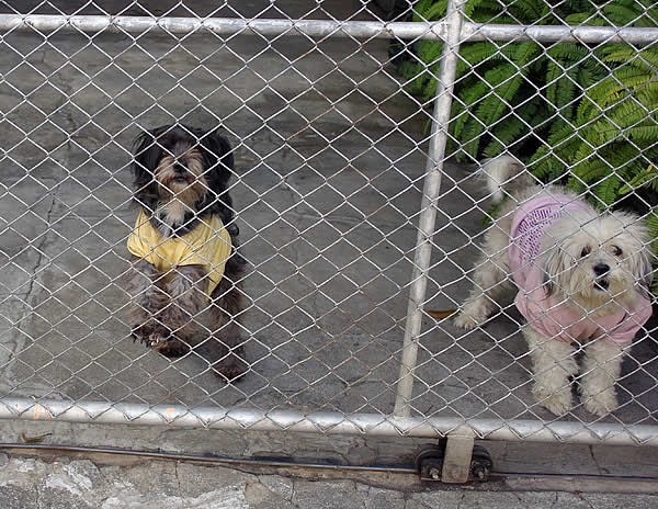 Chiang Mai dogs in t-shirts