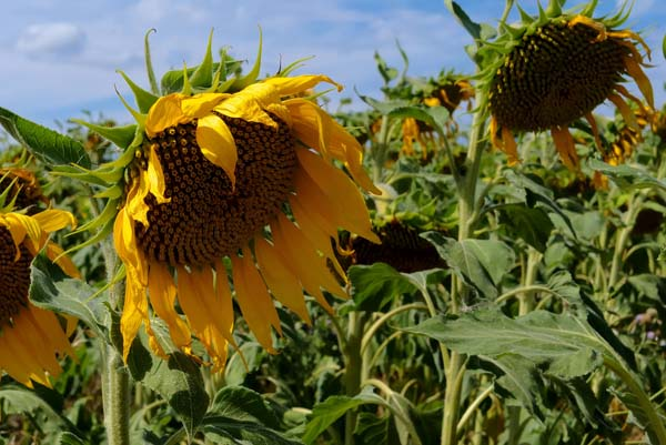Sunflowers near Bret
