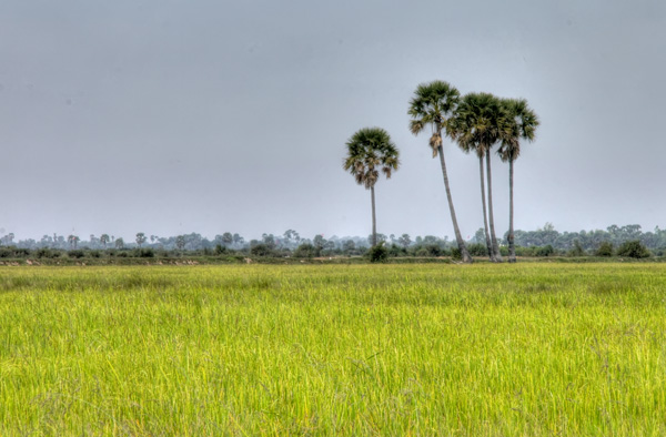 Cambodia - rice fields