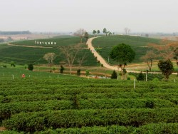 Choui Fong Tea Plantation