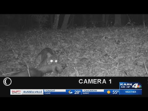 VIDEO: Caught on wildlife cam; bobcat kills deer