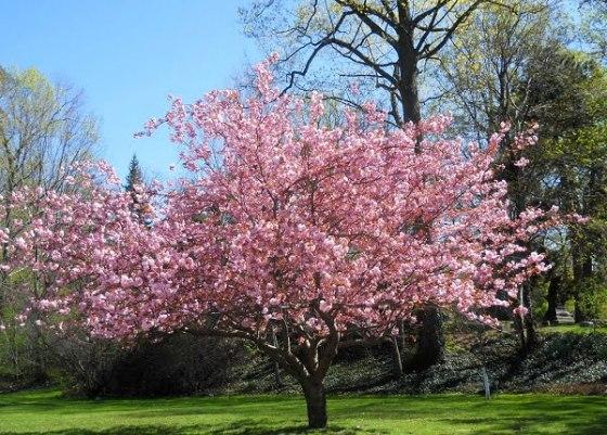 arbol-de-magnolia