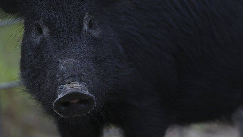 Feral hogs removed in AR_1520462217057.jpg.jpg