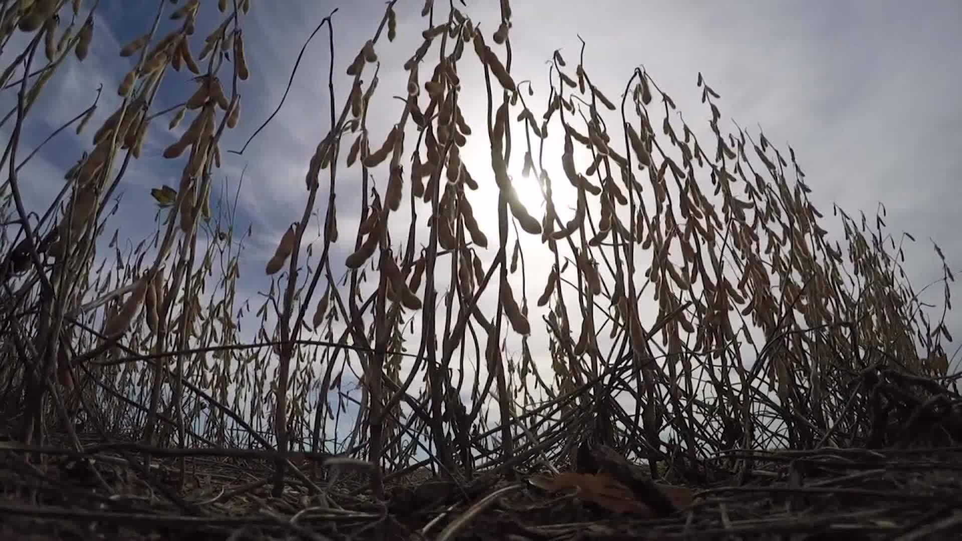 Rain impacts south Louisiana soybean farmers