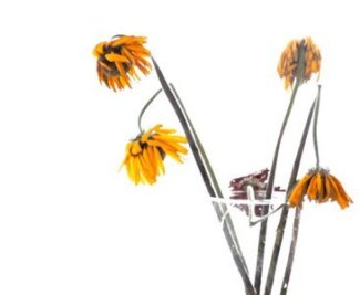 flor murcha