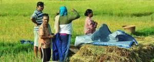 Bali Camping Luwus Rice Field