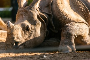 Rhino at the San Diego Zoo