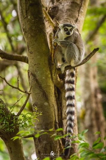 Lemur at the Woodland Park Zoo
