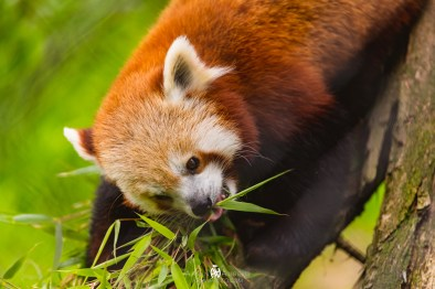 Carson the Red Panda