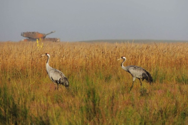A breeding pair of Kranich or common cranes forages for food in an impact area on the Grafenwoehr Training Area. USAG Bavaria manages its military land with the goal of supporting realistic training environments while also allowing local flora and fauna species to flourish.