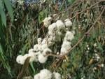Utilisation de l'huile essentielle d'eucalyptus radié pour se soigner facilement