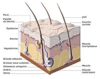 3 couches qui constituent la peau