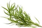 Utilisation estragon : huile essentielle du rhume des foins