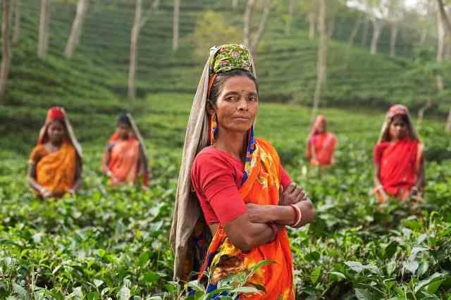 tea-harvesting