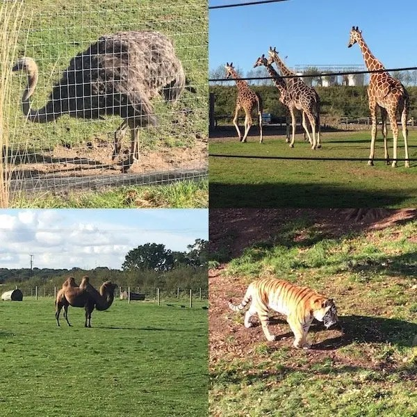 Ostrich, Camels, Giraffes and Tigers