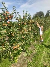 Äpfel selber pflücken