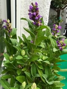 Bienenfreundliche Pflanzen - Salbei