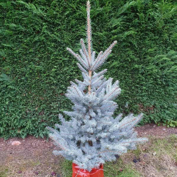 Picea - Blue Spruce - 4-5ft, frosted christmas tree, Around the garden table, garden gifts, garden accessories, garden centre delivery, plants Kent, plants Northiam, plants maidstone, flowers Kent, flowers delivered Kent, plants, flowers, bedding plants, seasonal bedding, seasonal bedding plants, edible plants, wildlife habitats, compost and mulches Kent, garden furniture, garden furniture Kent, gardening East Sussex, locally delivered garden supplies, contactless delivery, garden supplies with contactless delivery, vegetable seeds, vegetable plants, affordable garden furniture, wholesale garden supplies, bespoke planters, gift planters, garden inspiration, heart and soul gardening, #thechickenknows, Pop-Up Garden Boutique, free local delivery plants, free local delivery garden gifts, free local delivery garden accessories