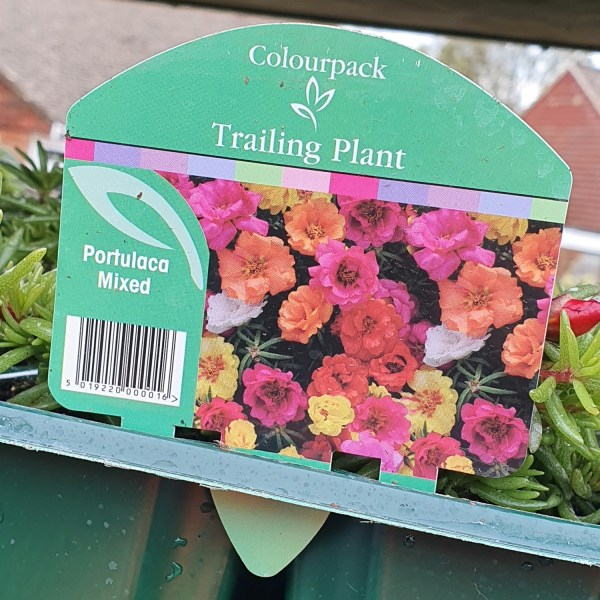 Portulaca Mixed - Trailing 6-pack, Portulaca Mixed, Around the garden table, garden gifts, garden accessories, garden centre delivery, plants Kent, plants Northiam, plants maidstone, flowers Kent, flowers delivered Kent, plants, flowers, bedding plants, seasonal bedding, seasonal bedding plants, edible plants, wildlife habitats, compost and mulches Kent, garden furniture, garden furniture Kent, gardening East Sussex, locally delivered garden supplies, contactless delivery, garden supplies with contactless delivery, vegetable seeds, vegetable plants, affordable garden furniture, wholesale garden supplies, bespoke planters, gift planters, garden inspiration, heart and soul gardening, #thechickenknows, Pop-Up Garden Boutique, free local delivery plants, free local delivery garden gifts, free local delivery garden accessories