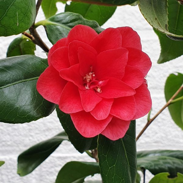 """Camelia """"Ace of Hearts"""", Red flowers, Around the garden table, garden gifts, garden accessories, garden centre delivery, plants Kent, plants Northiam, plants maidstone, flowers Kent, flowers delivered Kent, plants, flowers, bedding plants, seasonal bedding, seasonal bedding plants, edible plants, wildlife habitats, compost and mulches Kent, garden furniture, garden furniture Kent, gardening East Sussex, locally delivered garden supplies, contactless delivery, garden supplies with contactless delivery, vegetable seeds, vegetable plants, affordable garden furniture, wholesale garden supplies, bespoke planters, gift planters, garden inspiration, heart and soul gardening, #thechickenknows, Pop-Up Garden Boutique, free local delivery plants, free local delivery garden gifts, free local delivery garden accessories"""