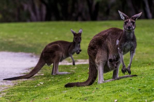 Kangeroo mit Baby