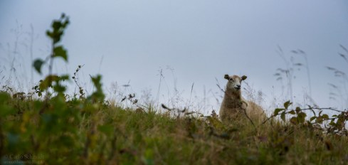 Schaf in den Mols