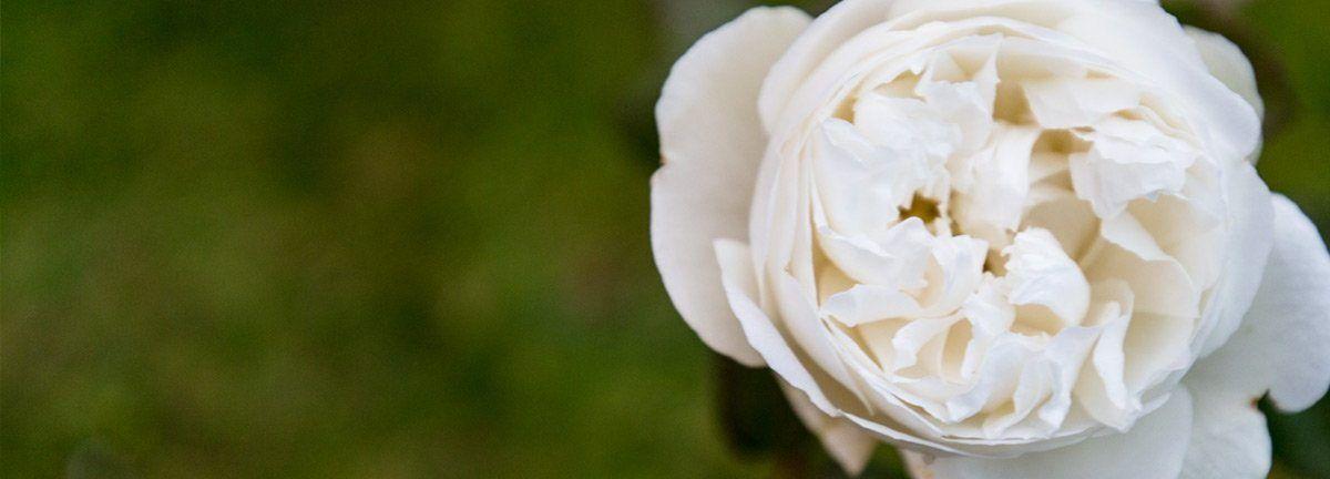 Rosa blanca en jardín Hotel