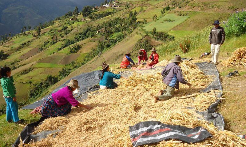 Quinua, alimento prehispánico: Orígenes e historia