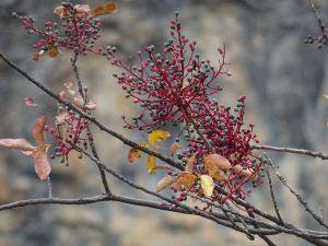 Granillo, el fruto de la cornicabra