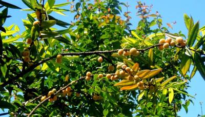 ENMA-myrciaria-floribunda.png