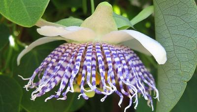 ENMA-passiflora-actinia.png