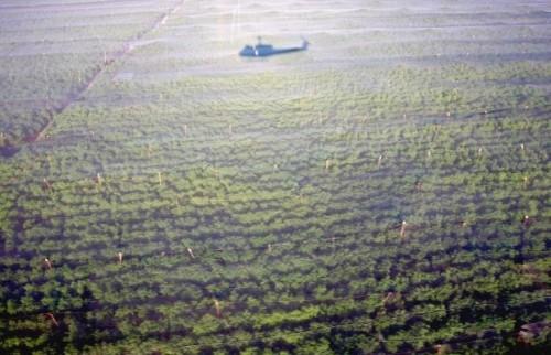 A Maior Plantação De Maconha Já Descoberta