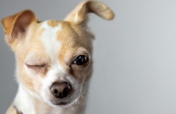 cachorro-engracado