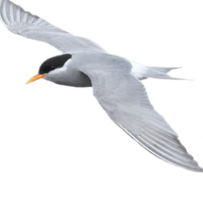 Black fronted tern - tarapiroe